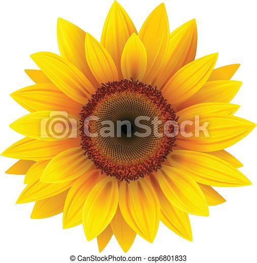 zonnebloem - csp6801833