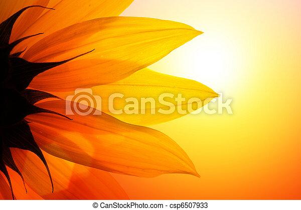 zonnebloem - csp6507933