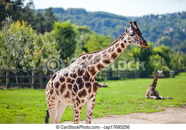 zoo, parc, safari, girafes - csp17693256