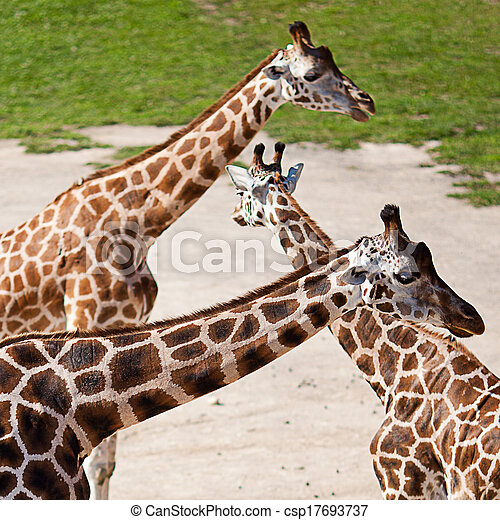 zoo, parc, safari, girafes - csp17693737