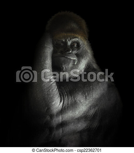 zoogdier, gorilla, machtig, vrijstaand, black  - csp22362701