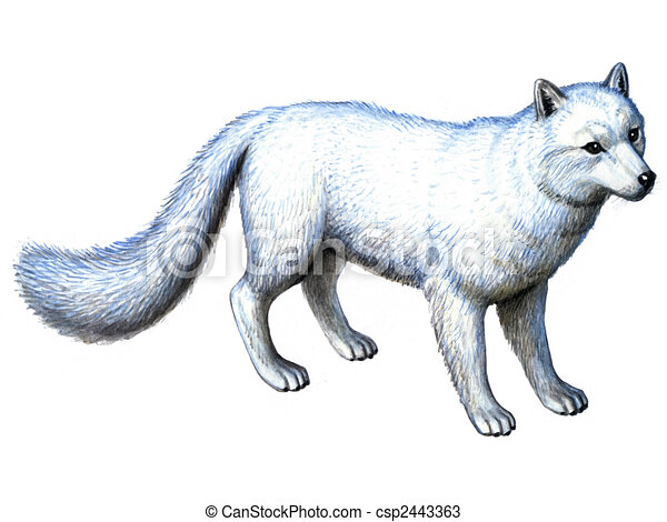 Zorro ártico, animal. Coloreado, animal, ártico, aislado, papel ...
