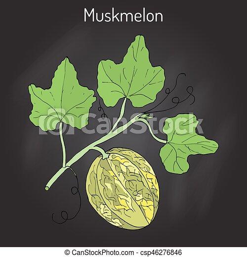 Zuckermelone Oder Cucumis Melo Abbildung Hand Zuckermelone