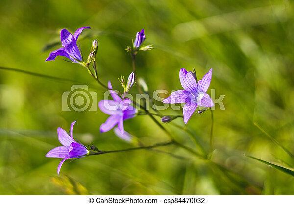 zvoneček, nach, campanula, překrásný, -, patula, květiny, rozšířit se - csp84470032