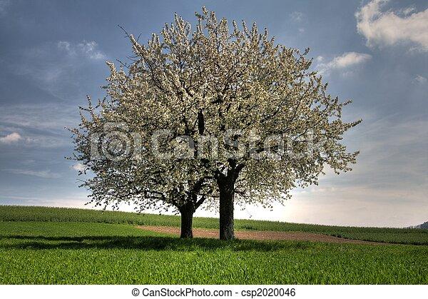 zwei, bäume, bloosoming - csp2020046